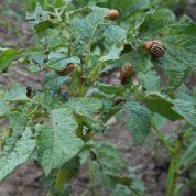 Aaltjes tegen larven coloradokever