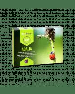 Adalia - Larven van lieveheersbeestjes