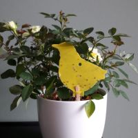 Gele vangplaatjes tegen rouwvlieg