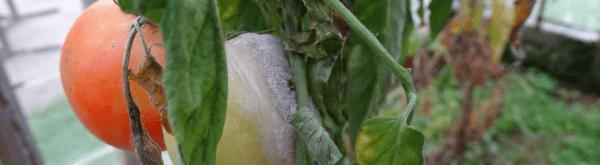 Ziekten en plagen van tomaten
