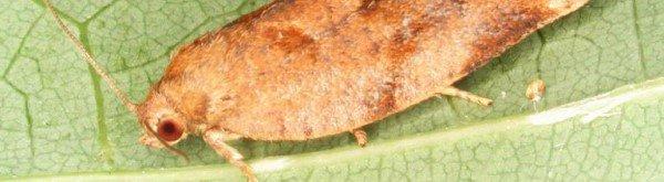 Heggebladroller: schade, waardplanten en preventie
