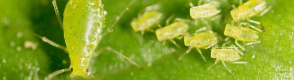 Hoe planten bladluizen zich voort?