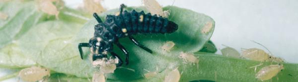 Hoeveel Adalia larven van lieveheersbeestjes moet ik uitzetten tegen bladluis?