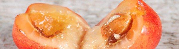 Kersenvlieg: schadebeeld en bestrijding