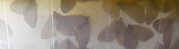 Kleine wintervlinder: waardplanten, schadebeeld en bestrijden