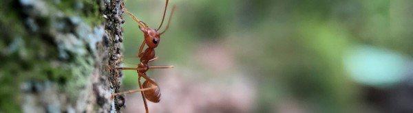 Waarom zitten mieren in mijn bomen?