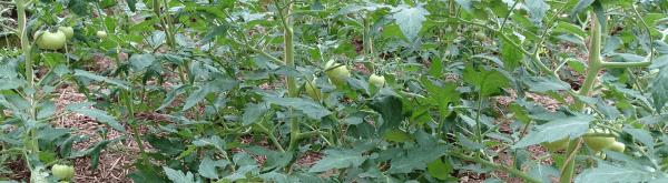 Opkweek van tomaten