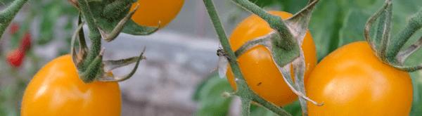 Waar tomaten kweken?