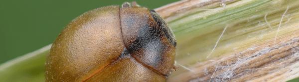 Vleugelloze lieveheersbeestjes