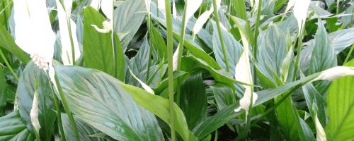foto van een mooie kamerplant met witte        Kleur