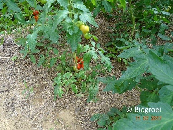 paardenmest tussen tomatenplanten