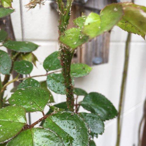 bladluis op rozen