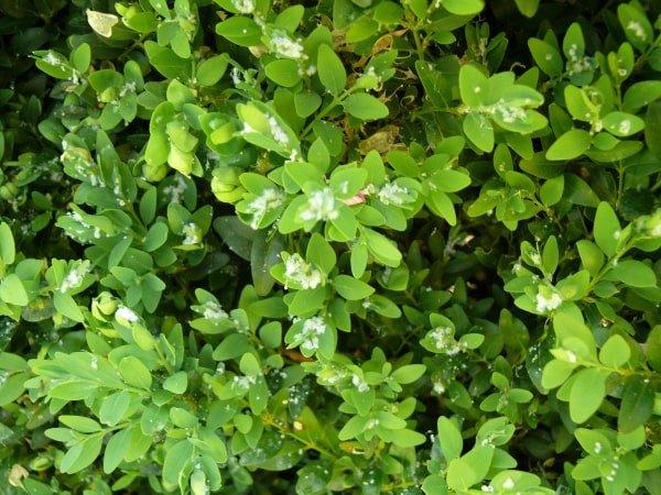 buxusbladvlo