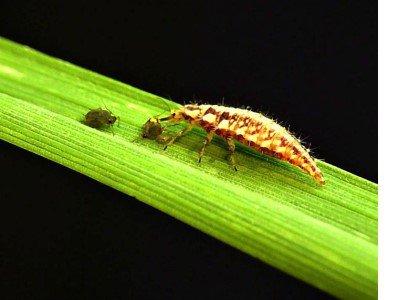 chrysopa larvae