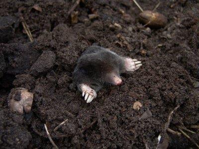 mol, een natuurlijke vijand van engerlingen