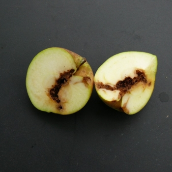 wormstekigheid in appels