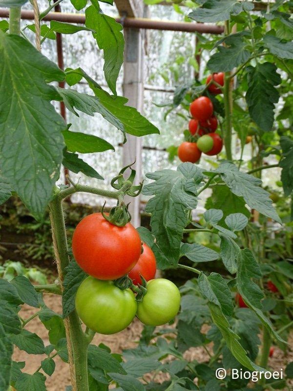 Tomaten kweken in serre of kas