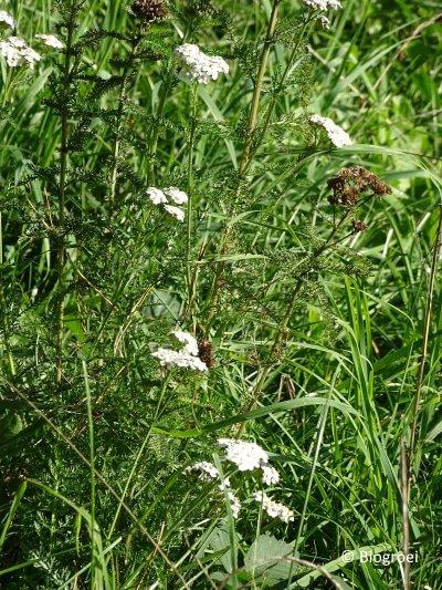 duizendblad in de natuur