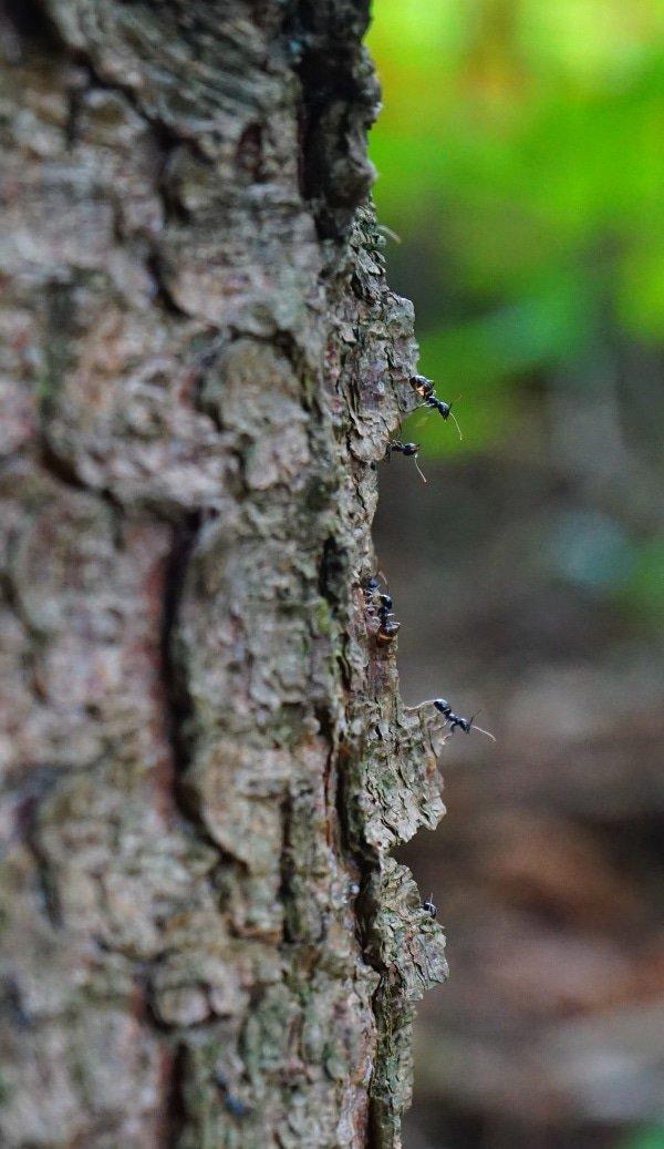 mieren in de boom
