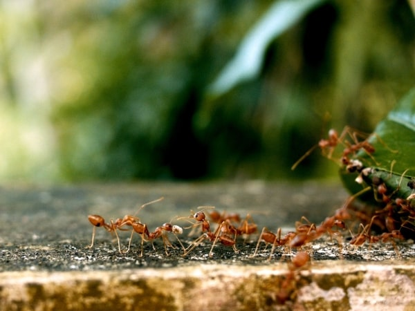 Mieren verkenners uitschakelen
