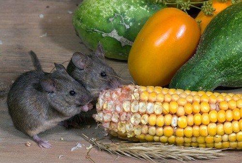 wat eten muizen