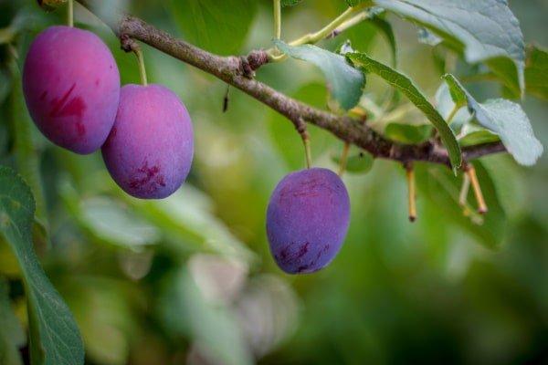 paarse pruimen aan tak