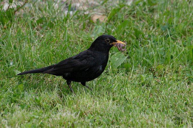 vogel eet worm