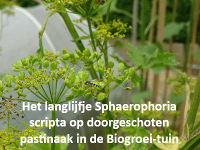 Het langlijfje Sphaerophoria scripta op doorgeschoten pastinaak in de Biogroei-tuin
