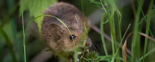 Verschil spitsmuis en muis