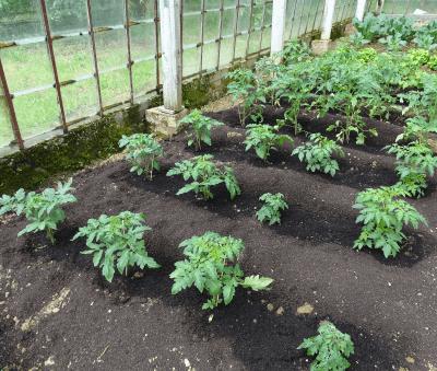 mulchlaag tomatenplanten