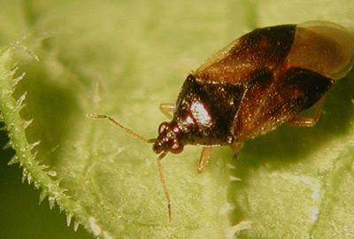 nuttig insect Orius
