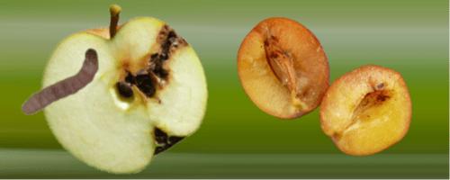 schadebeeld fruitmot pruimenmot